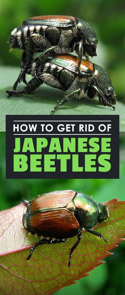 How To Get Rid Of Backyard Bugs by Best 25 Japanese Beetles Ideas On House Beetles Killing Japanese Beetles And