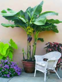 mini banana tree how to grow banana trees growing banana trees in pots