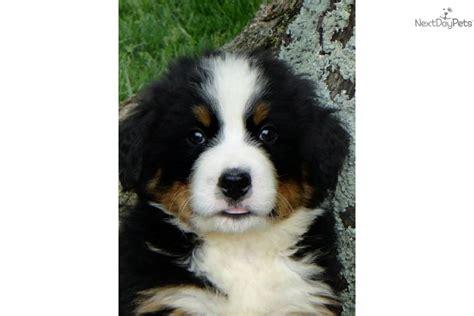bernese mountain puppies ky bernese mountain puppy for sale near bowling green kentucky 00681b73 b4f1