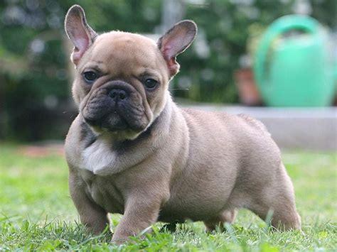 bulldog puppies craigslist blue bulldog breeders and clubs