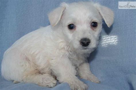 Westiepoo Puppy For Sale Near Minneapolis St Paul Minnesota E0ec1f3b 4381