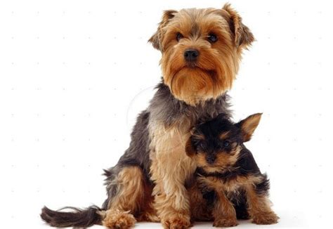 do yorkies cause allergies allergy to dogs or cats the luxonomist