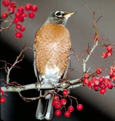what do american robin bird eat birds unlimited what do american robins eat in the winter