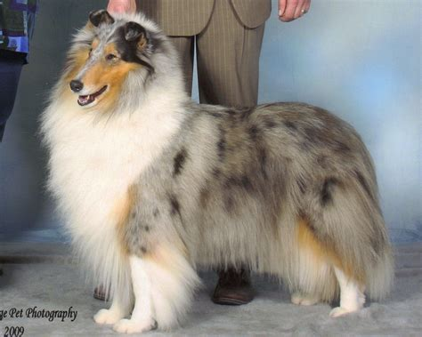 blue merle collie puppy blue merle collie ideal home