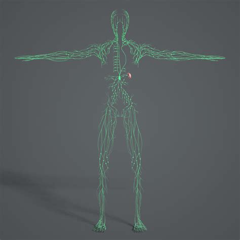 non node model 3d model medically lymphatic lymph