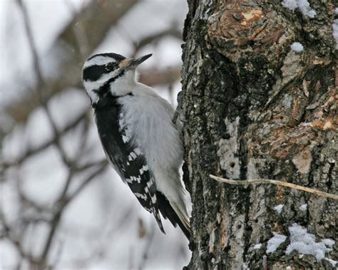 hairy woodpecker photos birdspix
