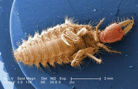 doodlebug insect facts antlion insect britannica