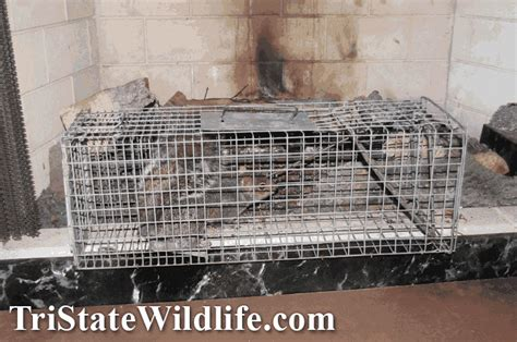 Squirrel Trapped In Fireplace by Squirrel Removal In Westchester Ny Tristate Wildlife