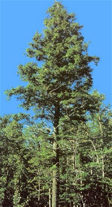 sharonhs taxa 2013 p3 hemlock tree