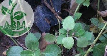 Jintan Hitam 50 Benih jual tanaman herbal jinten hitam aneka bibit murah