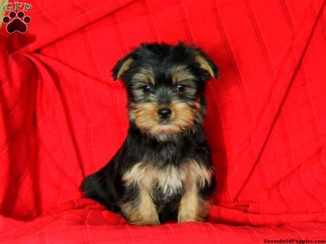 morkie puppies for adoption morkie yorktese puppies for sale in pa dogs