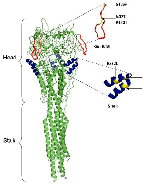 f protein rsv ribbon representation of the structure of the rsv f
