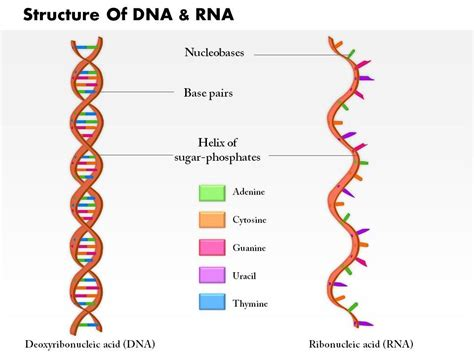 rna structure diagram 0814 structure dna and rna molecule images for