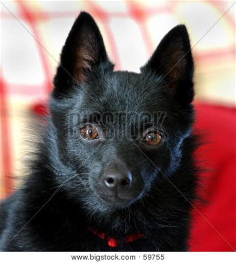 small black puppy picture or photo of portrait style photo of a small black breed is a schipperke