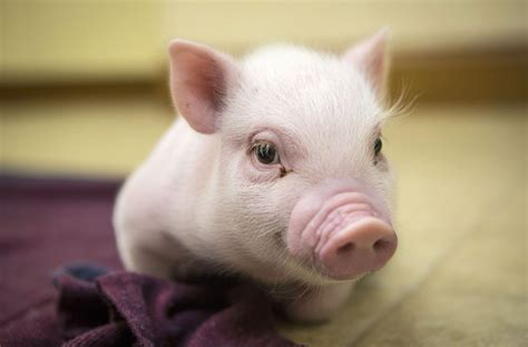 pig the 301 moved permanently