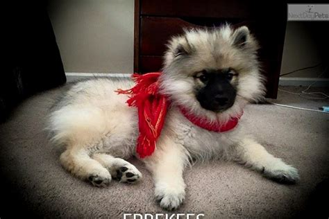 keeshond puppies for sale near me keeshond puppy for sale near nashville tennessee 0950250a 1401