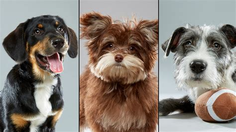 puppy bowl teams a 3rd chicago area to be on puppy bowl roster chicago tribune