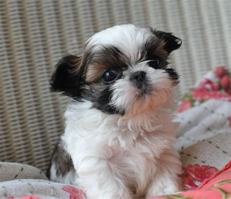 teacup puppies shih tzu teacup shih tzu puppies for sale history temperament