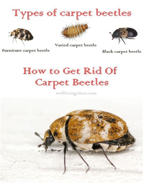 how to get rid of carpet beetles in my bedroom 15 effective do it yourself ways to get rid of carpet