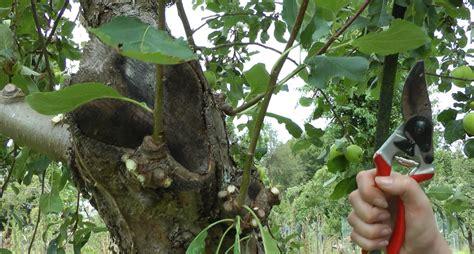 when to prune fruit trees fruit tree pruning peoples trust for endangered species