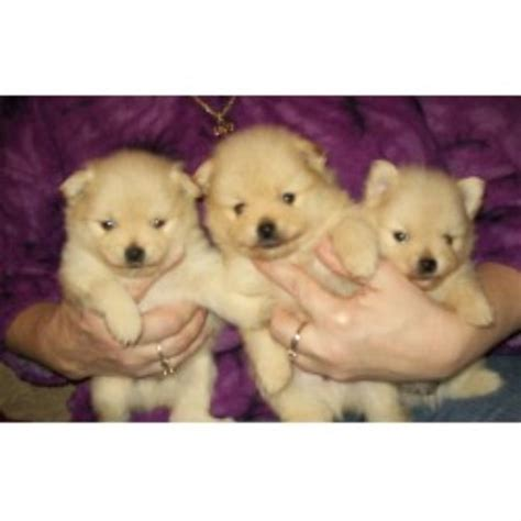pomeranian puppies pittsburgh pomeranian breeders in pennsylvania freedoglistings