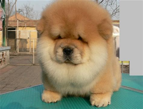 chow dogs pictures and infos of chow chow fallinpets