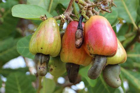 tree ripened fruit just a tree in da co