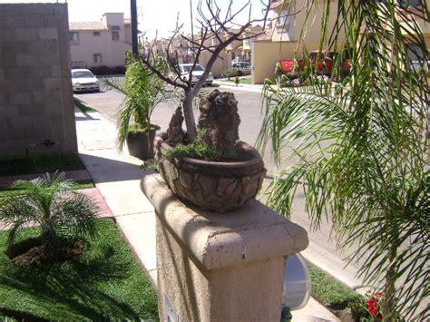 bonsai de copal el en baja california en mercado libre m 233 xico bons 225 i de copal y gu 237 a de cuidados p 225 gina 2