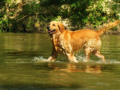 how often do golden retrievers need to be groomed golden retriever temperament personality canna pet 174