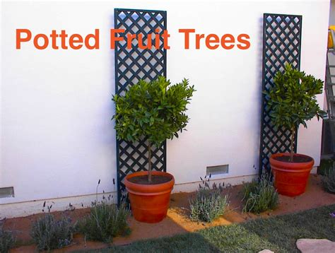 potted fruit trees  small yards eden makers blog