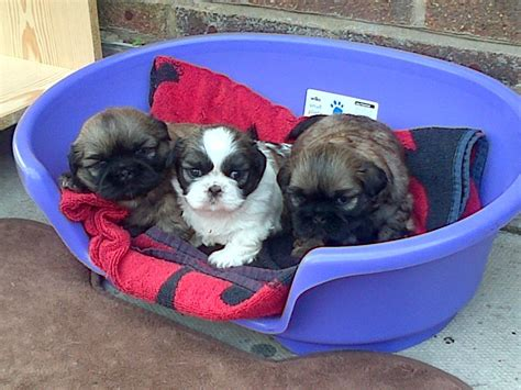 shih tzu puppies for sale in manchester shih tzu puppies for sale leigh greater manchester pets4homes