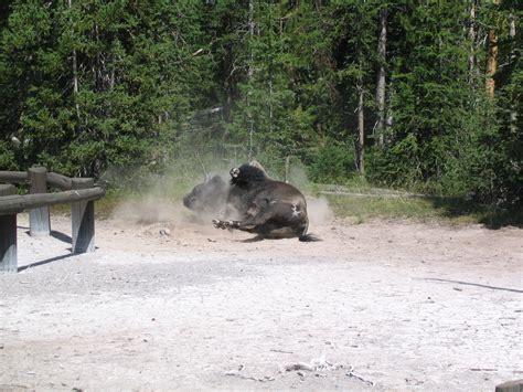 bathroom dust file bison dust bath jpg wikimedia commons