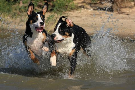 puppies in water great swiss mountain puppies running in the water wallpapers and images