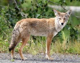 coyote trapping removal get rid of coyotes