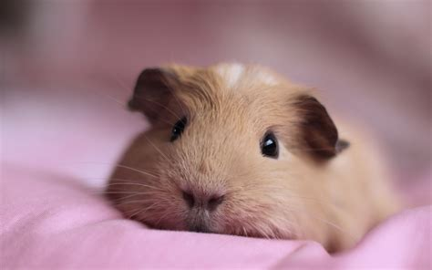 guinea pigs welcome to your pet space