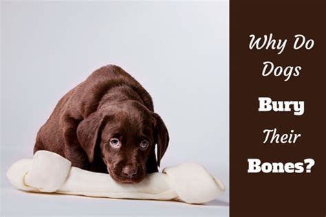 why do dogs bury bones why do dogs bury bones labradortraininghq