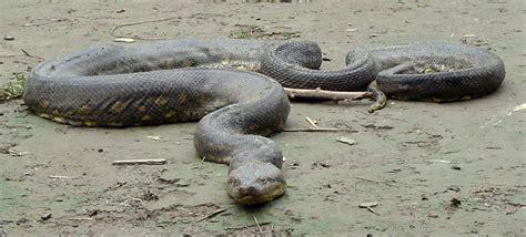 imagenes anacondas reales anaconda im 193 genes