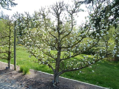 pear trees suitable for espalier tips on growing