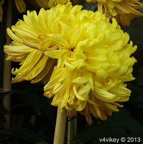 popular flower chrysanthemum is one of the most popular flowers next
