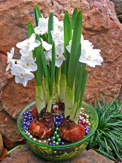 Ideas For Daffodil Varieties Design 56 Best Growing Bulbs Indoors Images On Pinterest Bulbs Creative And Flowers