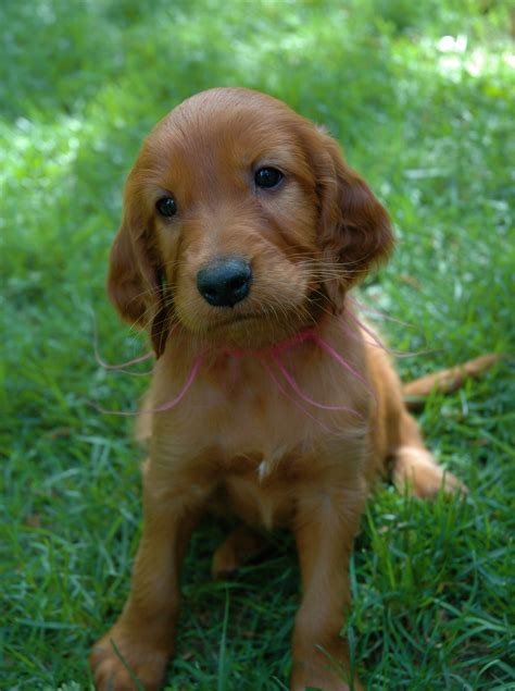 irish setter dog everything top dog irish setter puppies