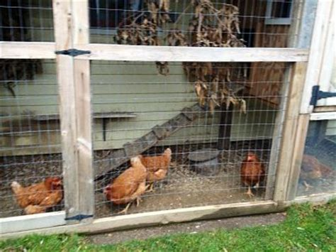 backyard chicken farming city dwellers flock to backyard chicken farming the batavian