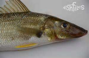 sand whiting