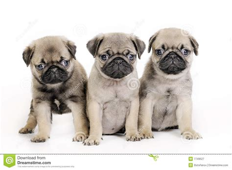 three pugs three pug puppies royalty free stock photography image 7749527