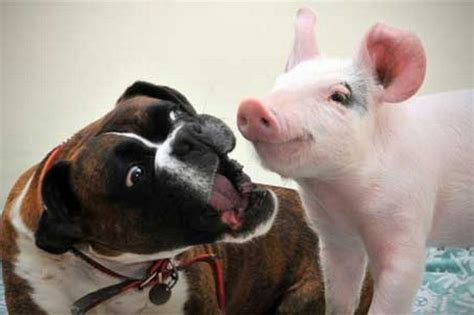 puppy and piglet photos of puppies and pigs the only way to celebrate national pig day dogvacay