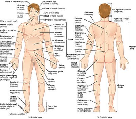 define section anatomy anatomical terminology wikipedia