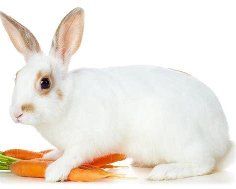 black and white rabbit wallpaper صور أرنب خلفيات أرانب hd حيوانات الوليد