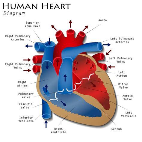 diagram human ivc filter lawsuit baum hedlund aristei goldman