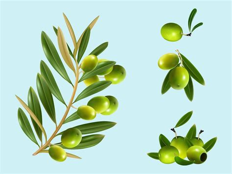 olive art olive vector art www pixshark com images galleries