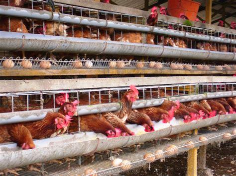 Bibit Ayam Petelur Doc langaravoice portal berita indonesia